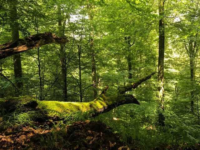 Buchen UrwaldProjekt