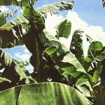 bananatex